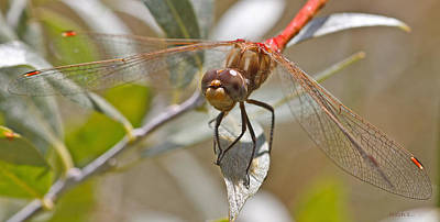 White-faced Meadowhawk Art Print by Mitch Shindelbower