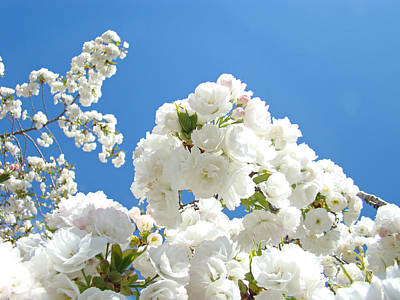White Floral Blossoms Art Prints Spring Tree Blue Sky Art Print by Baslee Troutman