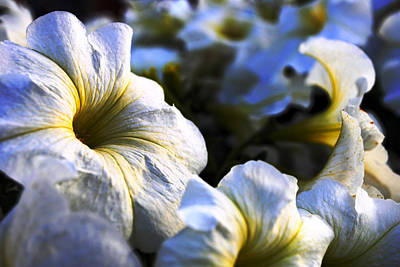 Floral Photograph - White Flowers At Dusk 2 by Sumit Mehndiratta