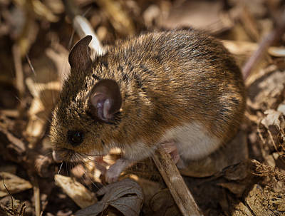 Photograph - White-footed Mouse by  Onyonet Photo Studios