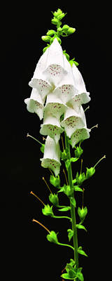 Photograph - White Foxglove by Albert Seger