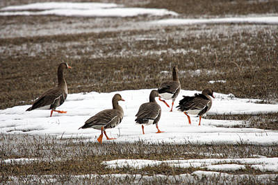 Photograph - White Fronted Goose - 0004 by S and S Photo