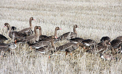 Photograph - White Fronted Goose - 0017 by S and S Photo