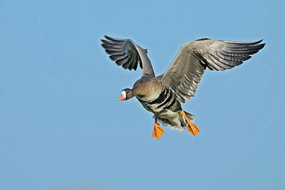 White-fronted Goose Anser Albifrons Art Print by Winfried Wisniewski