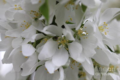 Photograph - White Full Blooms  by Donna L Munro