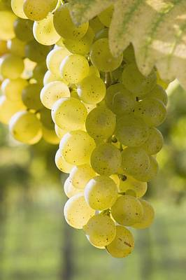 White Grapes Art Print by Michael Interisano