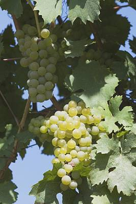 White Grapes On The Vine Print by Michael Interisano