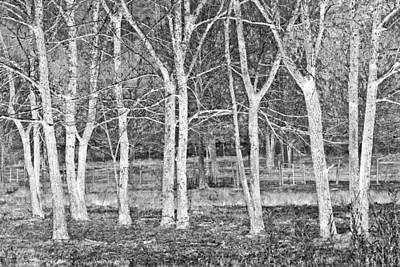 Photograph - White Grove by Debra and Dave Vanderlaan