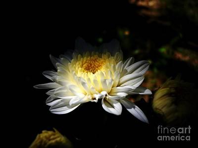 Photograph - White Guldaudi Flower by Hari Om Prakash