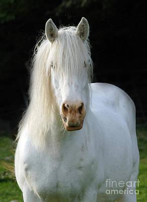 White Unicorn Photograph - White Heavy Horse by Angel  Tarantella