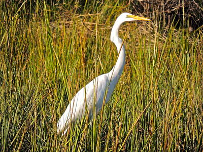 Photograph - White Heron Alert by Eve Spring