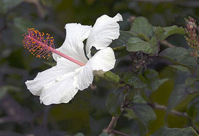 White Hibiscus  Flower Original