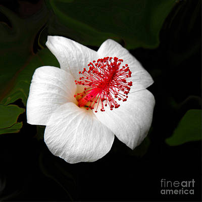 Photograph - White Hibiscus Flower by Rebecca Margraf