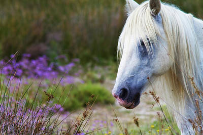 Photograph - White Horse by Roberto Pagani