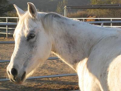 Photograph - White Horse by Sue Halstenberg