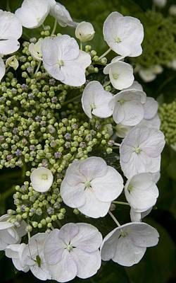Photograph - White Hydrangea by Masami Iida
