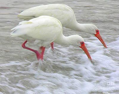 White Ibis Feeding Art Print by Anne Gordon