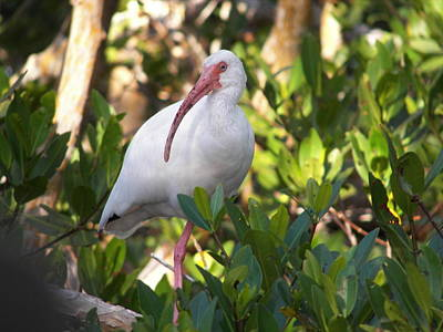White Ibis Art Print by Judy Via-Wolff