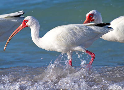 Ibis Photograph - White Ibis On The Shore by Betsy Knapp