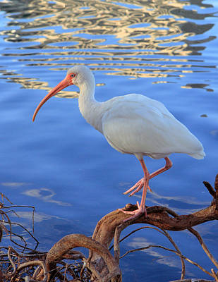 White Ibis Art Print by Rick Lesquier