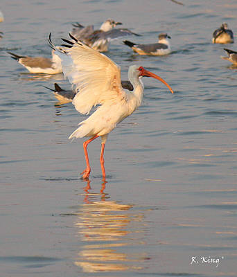 Photograph - White Ibis With Wings Raised by Roena King