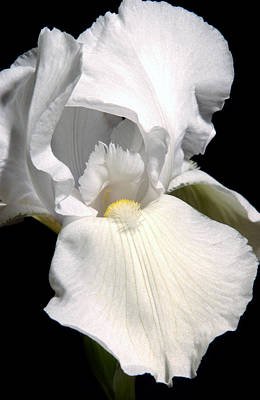 White Photograph - White Iris by Greg and Chrystal Mimbs
