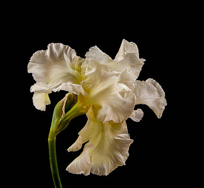 Photograph - White Iris On Black Background by Jean Noren