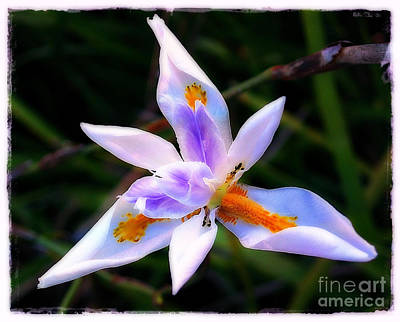 Photograph - White Iris by Judi Bagwell