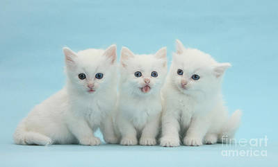 Of Cats Photograph - White Kittens by Mark Taylor
