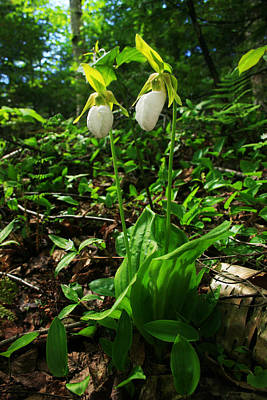 Photograph - White Lady Slipper by Benjamin Dahl