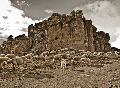 Photograph - Guzelyurt, Turkey - White Lamb by Mark Forte
