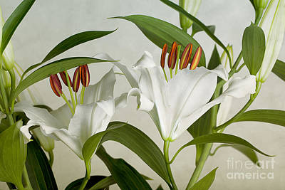 Lilies Royalty-Free and Rights-Managed Images - White Lilies by Nailia Schwarz