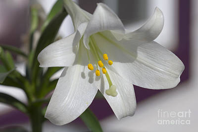 Photograph - White Lily by Donna L Munro