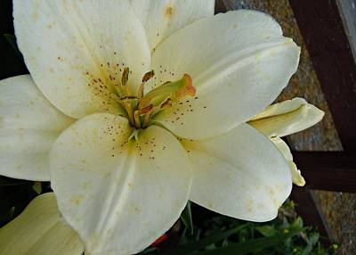 Photograph - White Lily by Julie Williams