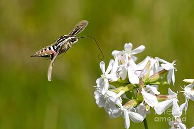 White-lined Sphinx Hummingbird Moth Art Print by Fred Emms