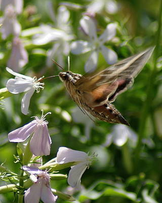 Photograph - White-lined Sphinx Moth In Flight by Ben Upham III