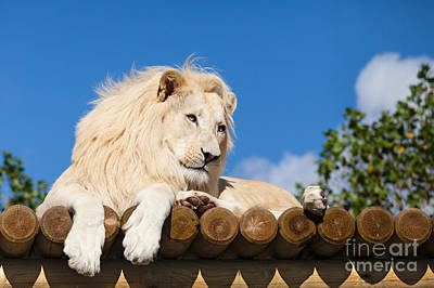 White Lion On Platform Art Print by Sarah Cheriton-Jones