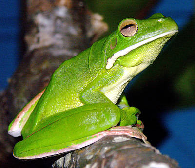 Photograph - White-lipped Green Tree Frog by Jocelyn Kahawai