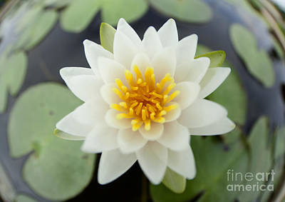 White Lotus Original