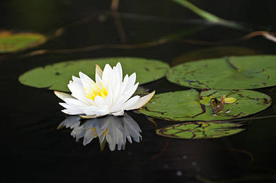 Photograph - White Lotus Flower Lily Pad by Glenn Gordon