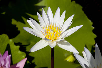 White Lotus Art Print by Kelley King