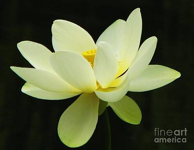 Photograph - White Lotus by Michele Penner