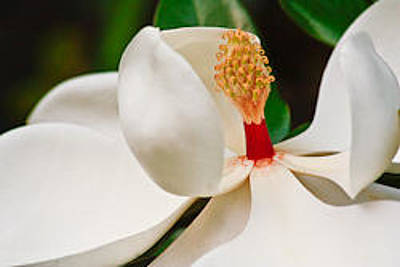 Photograph - White Magnolia by Ann Murphy