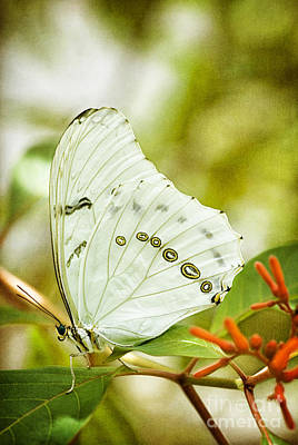 Photograph - White Morpho Butterfly by Cheryl Davis