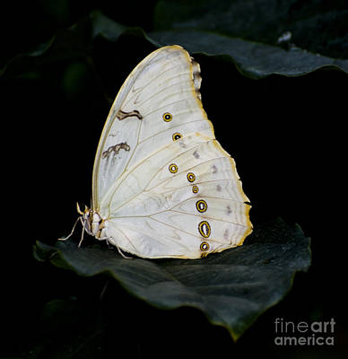 Photograph - White Morpho by Heather Applegate