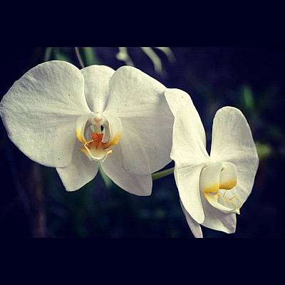 Orchids Photograph - White Orchid 🌺 by Shahnaz Rafika