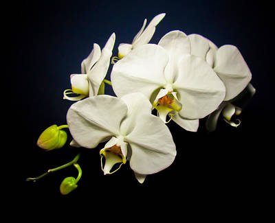 White Orchid IIi Art Print