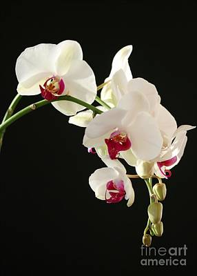 Photograph - White Orchids by Sabrina L Ryan
