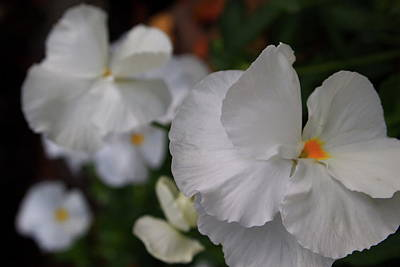 Photograph - White Pansies by Laura  Grisham