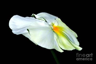 Genus Photograph - White Pansy by Kaye Menner